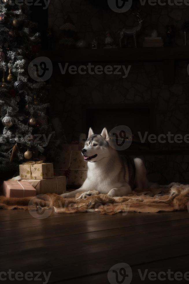 Perro de raza husky siberiano, retrato de perro en un color de estudio foto