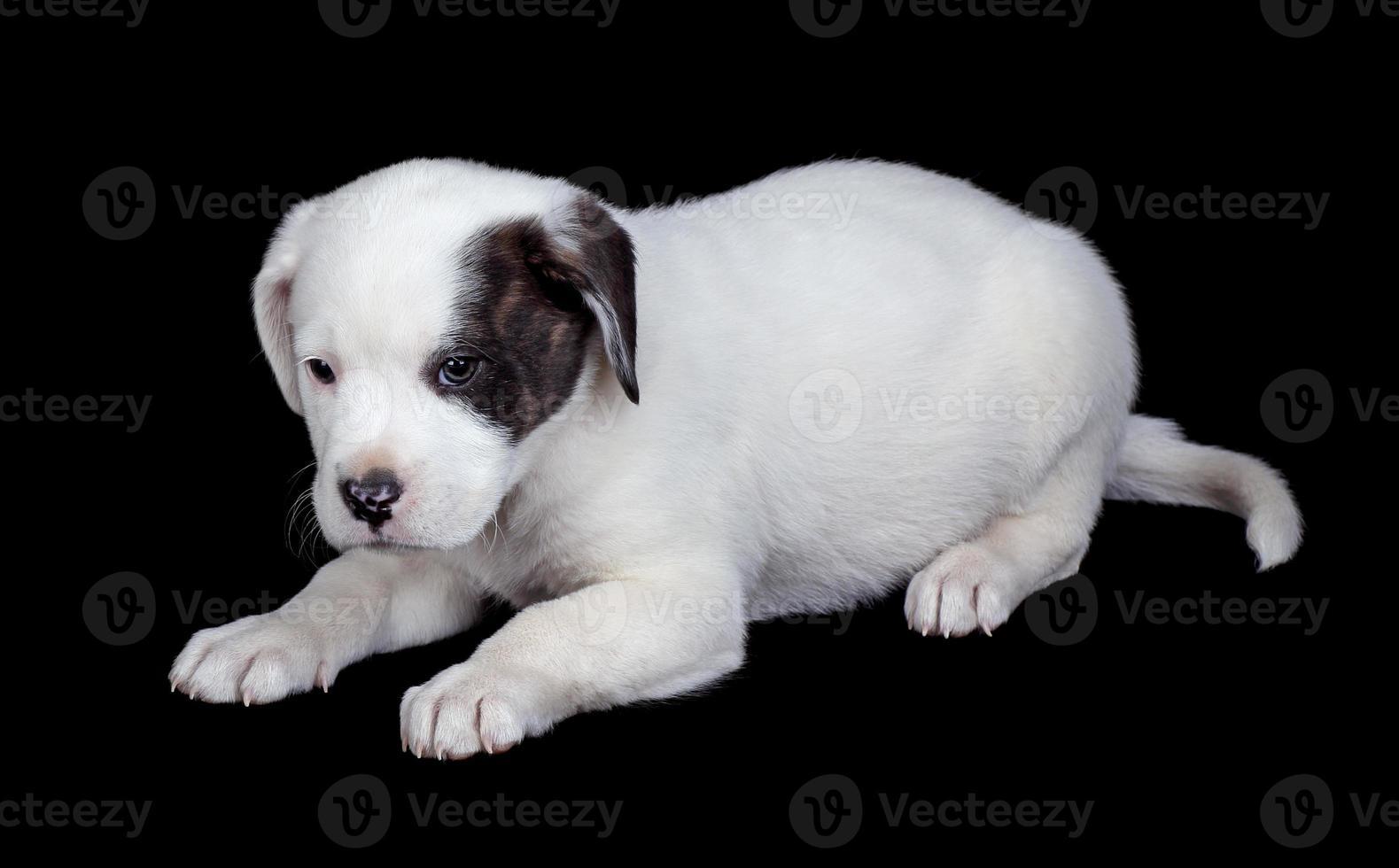 White Puppy Isolated on Black photo