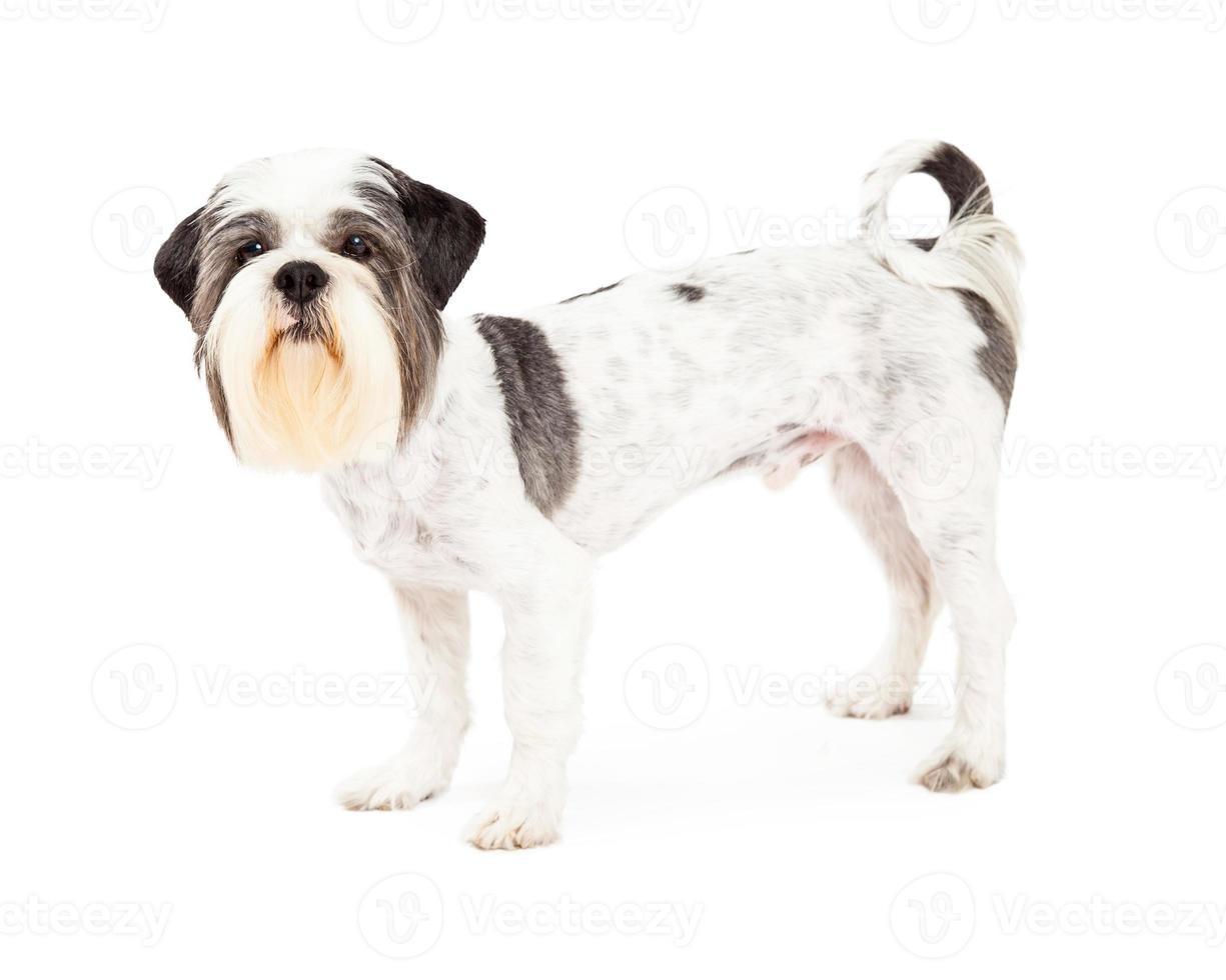 obediente perro lhasa apso de pie de lado foto