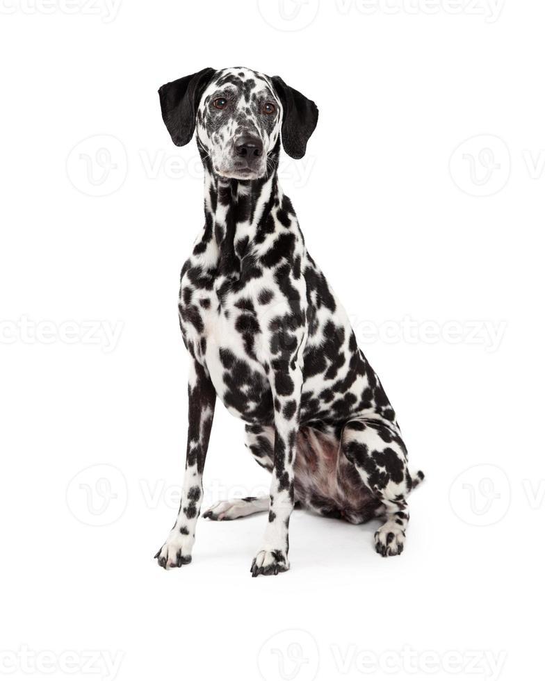 hermoso perro dálmata sentado foto