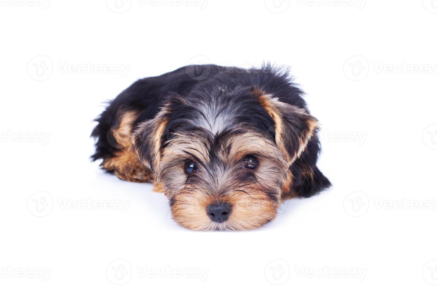 adorable yorkshire cachorro relajante foto