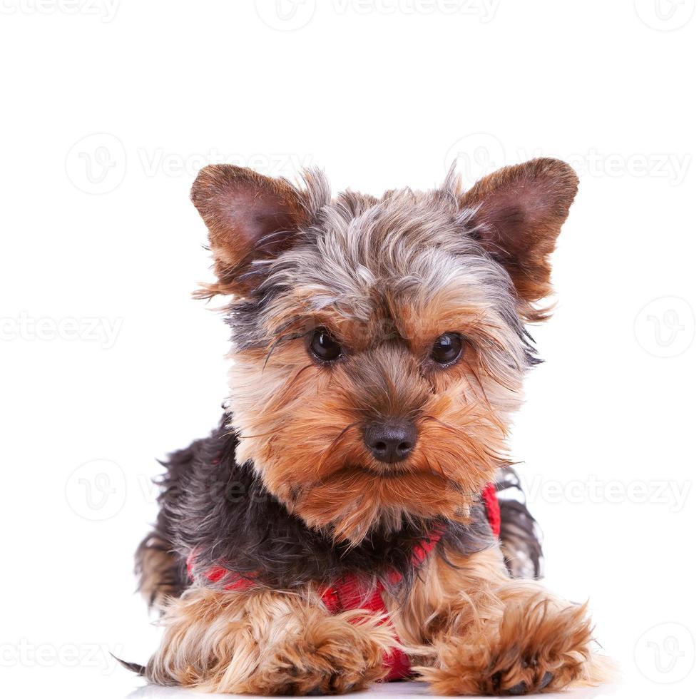 cute yorkshite puppy dog lying down photo