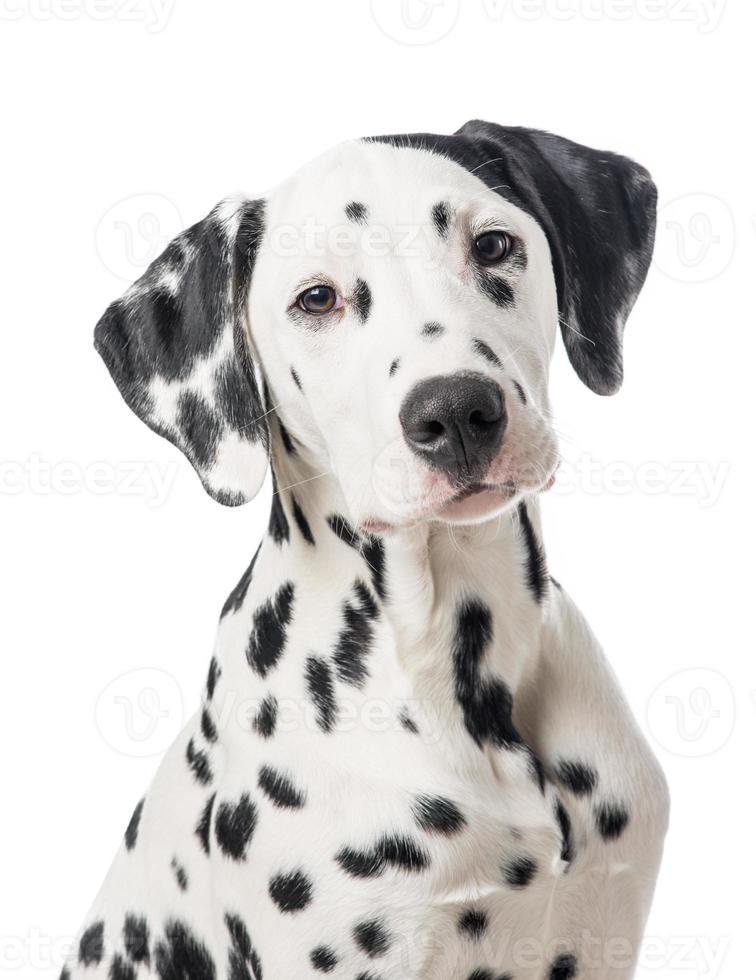 Retrato de perro dálmata foto