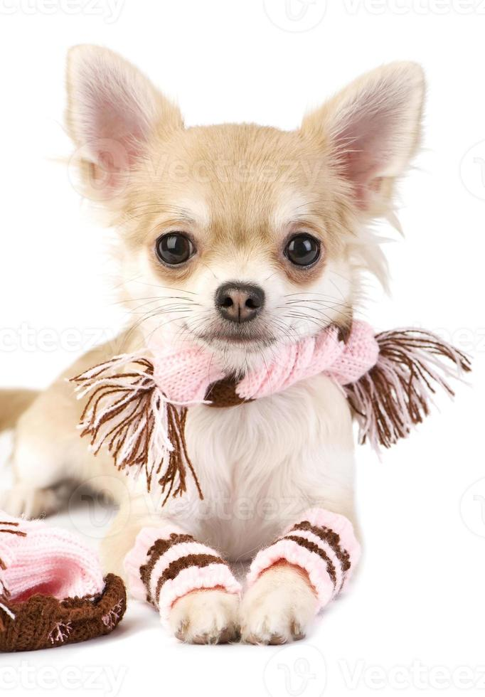 nice chihuahua puppy with knitted set photo