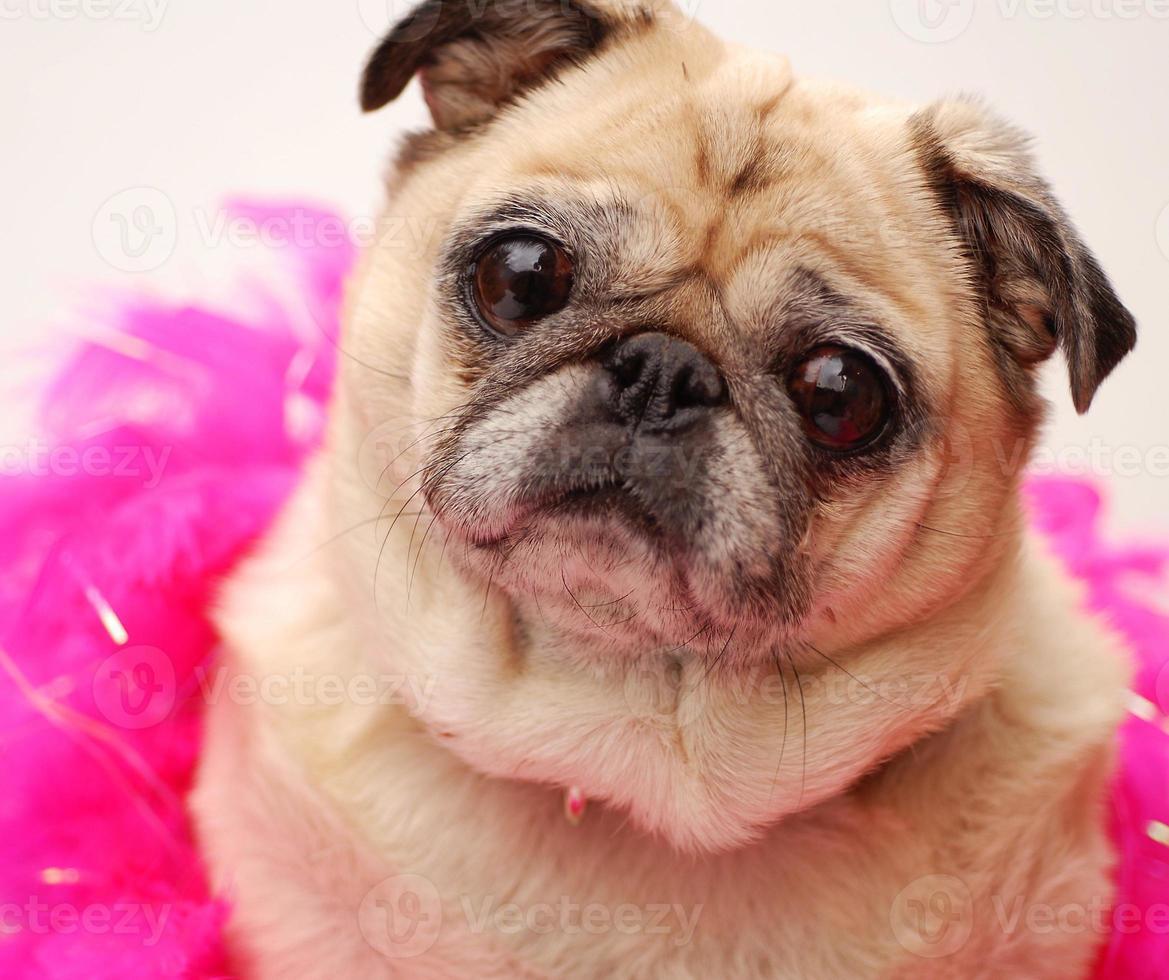 Pug Beauty photo