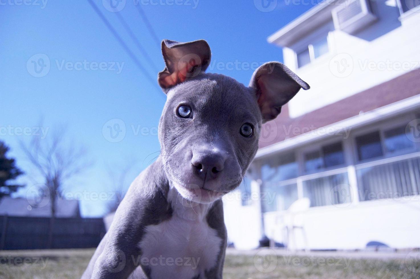 cachorro pitbull foto