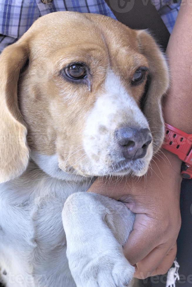 cerrar perro beagle mirando foto
