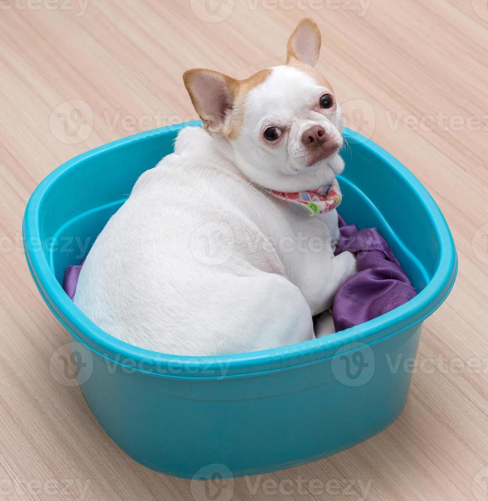 Chihuahua puppy sleep in the bucket photo