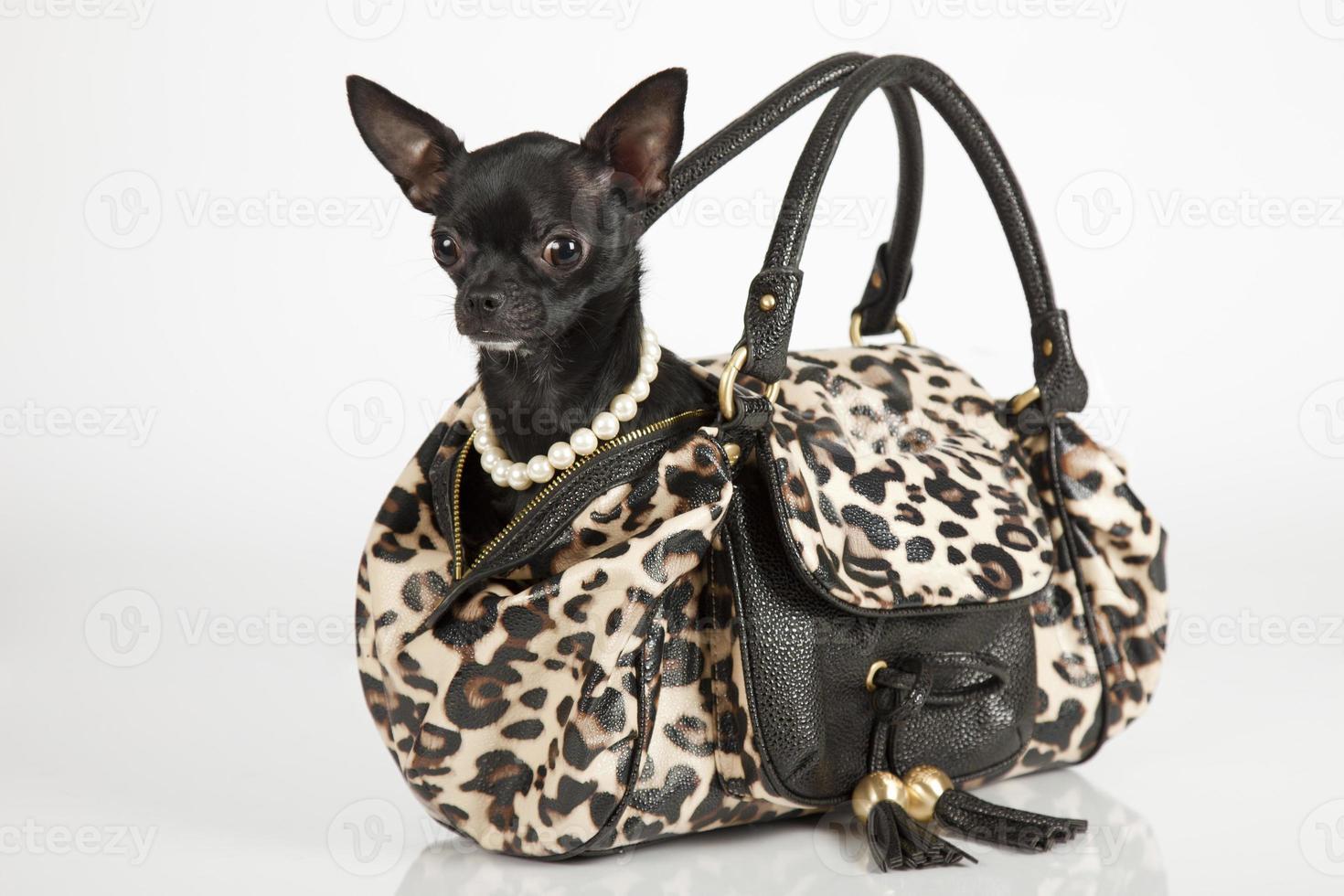 Chihuahua en un bolso elegante foto