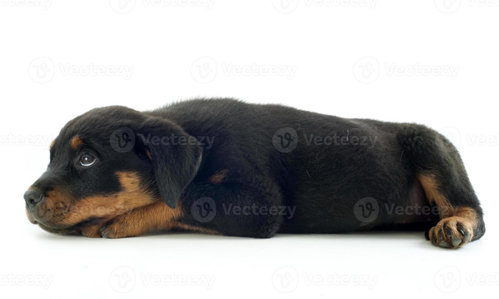 Rottweiler foto