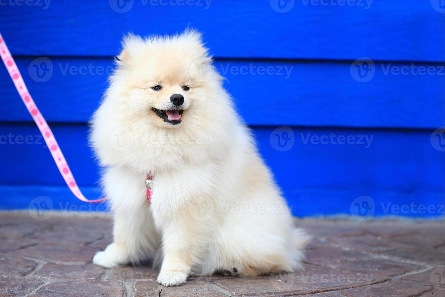 cachorro de pomerania blanco foto