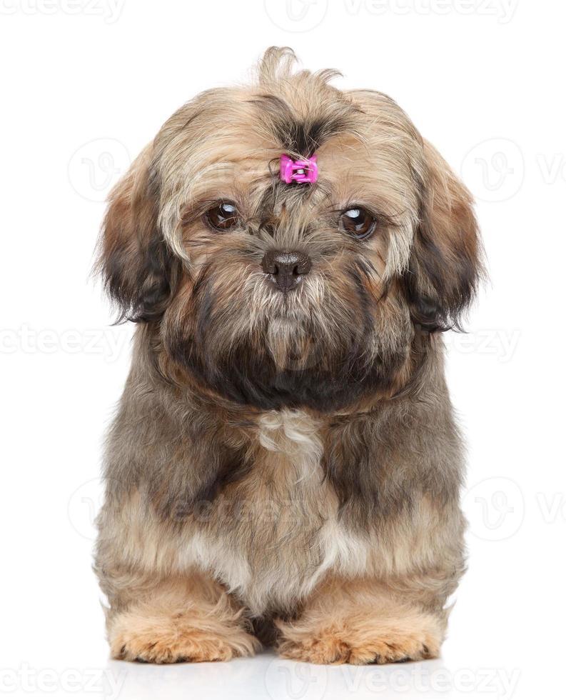 shih tzu cachorro foto