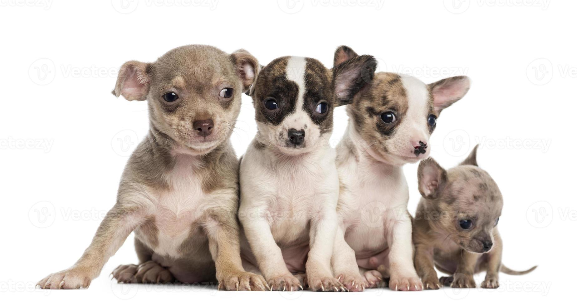 Grupo de cachorros chihuahuas sentados en una fila. foto
