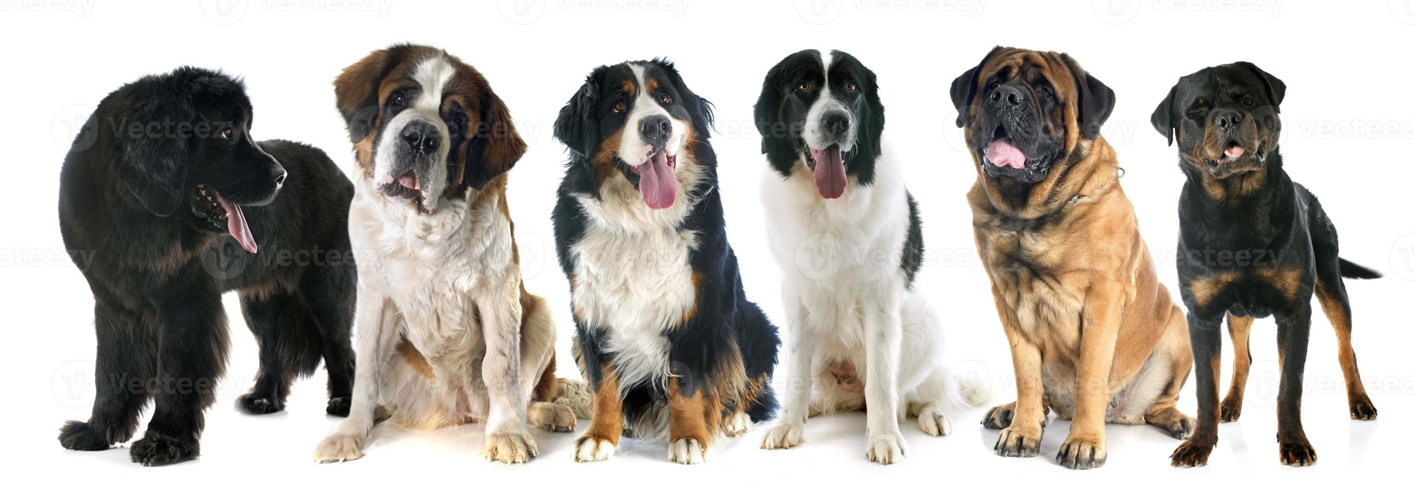 Giant Dogs Stock Photo