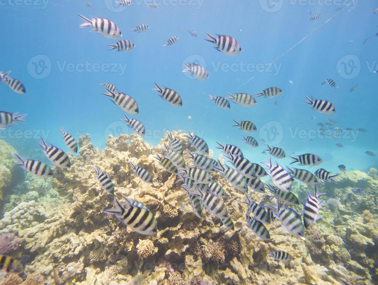 Shoal of sergeant major damselfish on coral reef photo