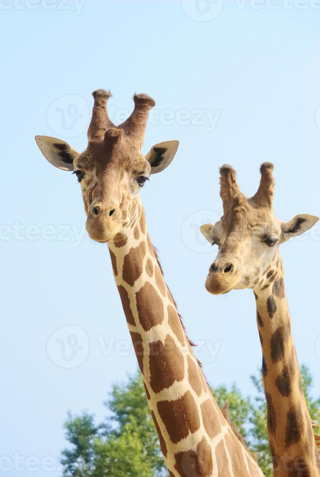 Girffes on long necks photo
