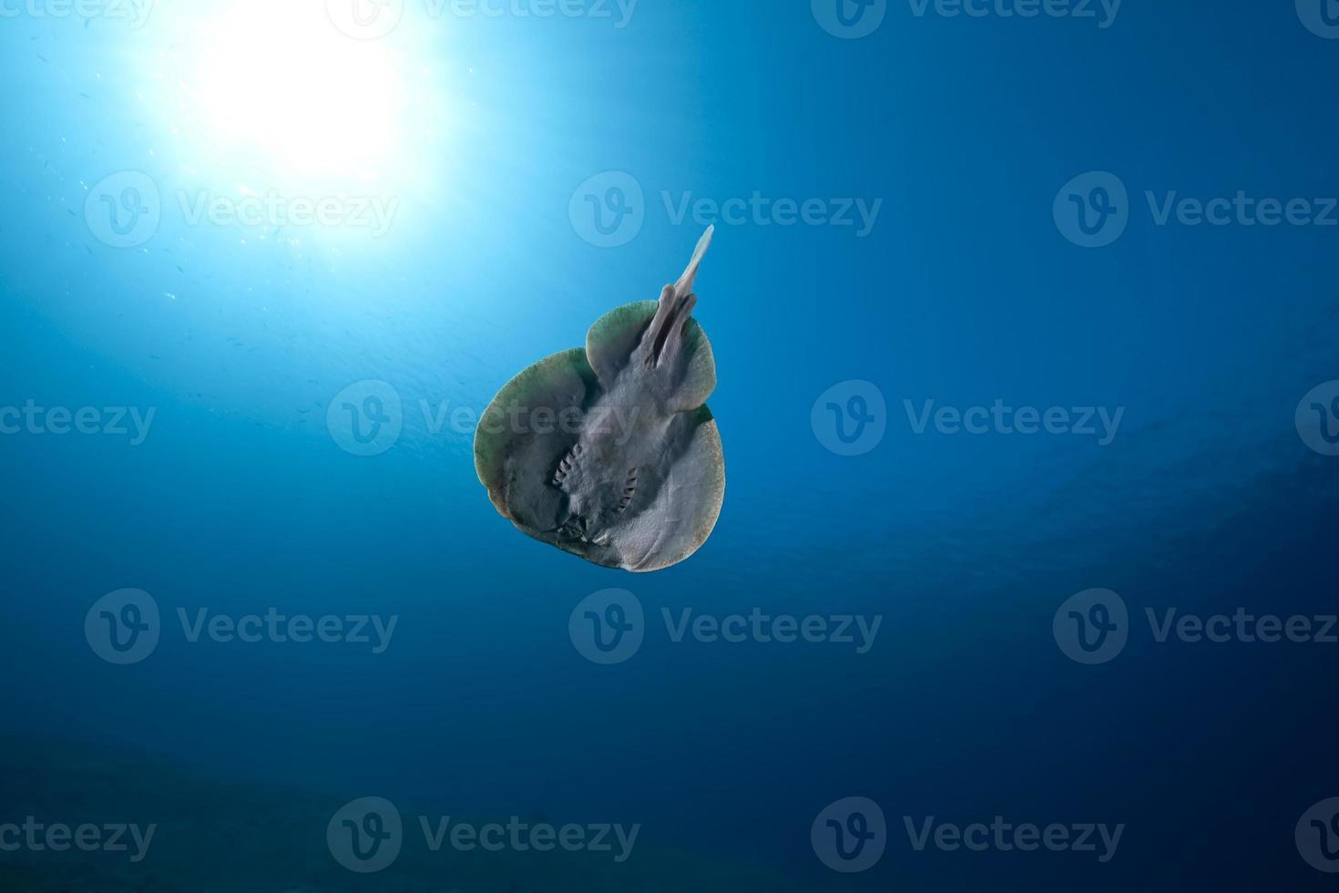 rayo torpedo leopardo y océano foto