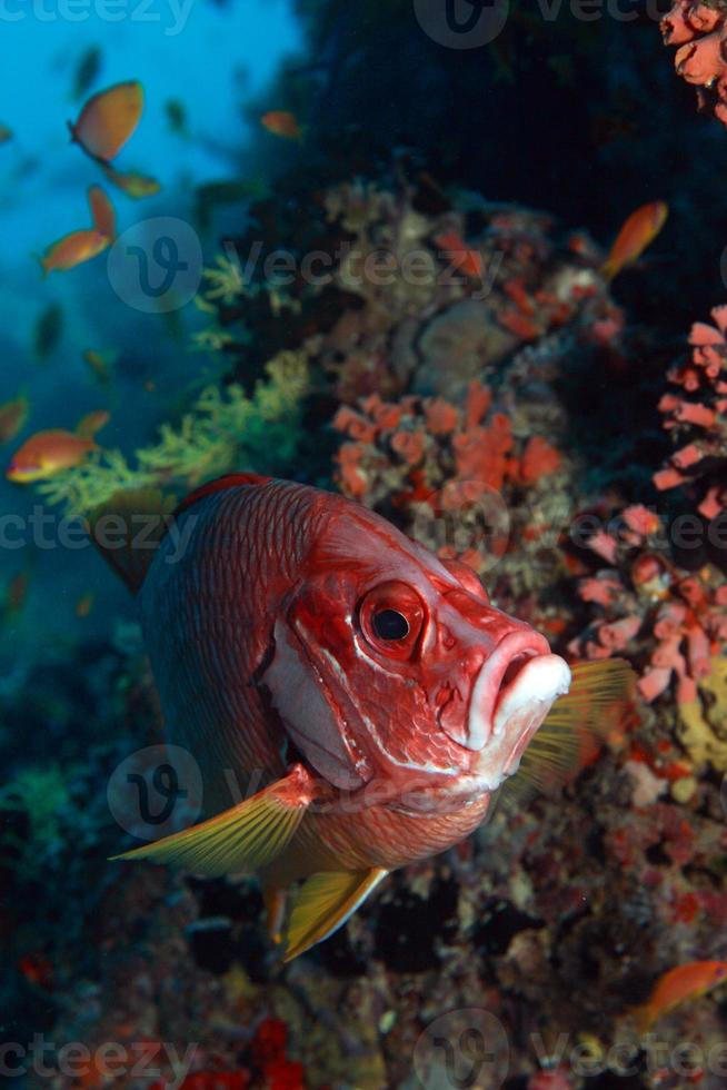 Red Snapper photo