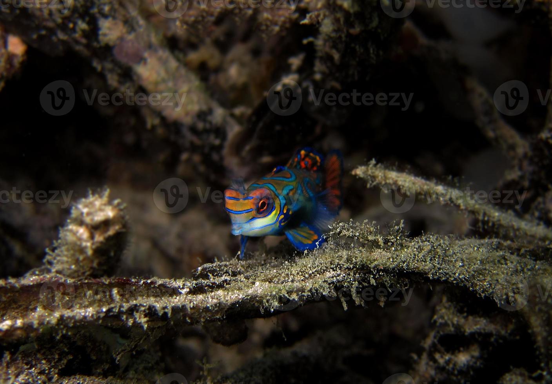 Mandarin Fish photo