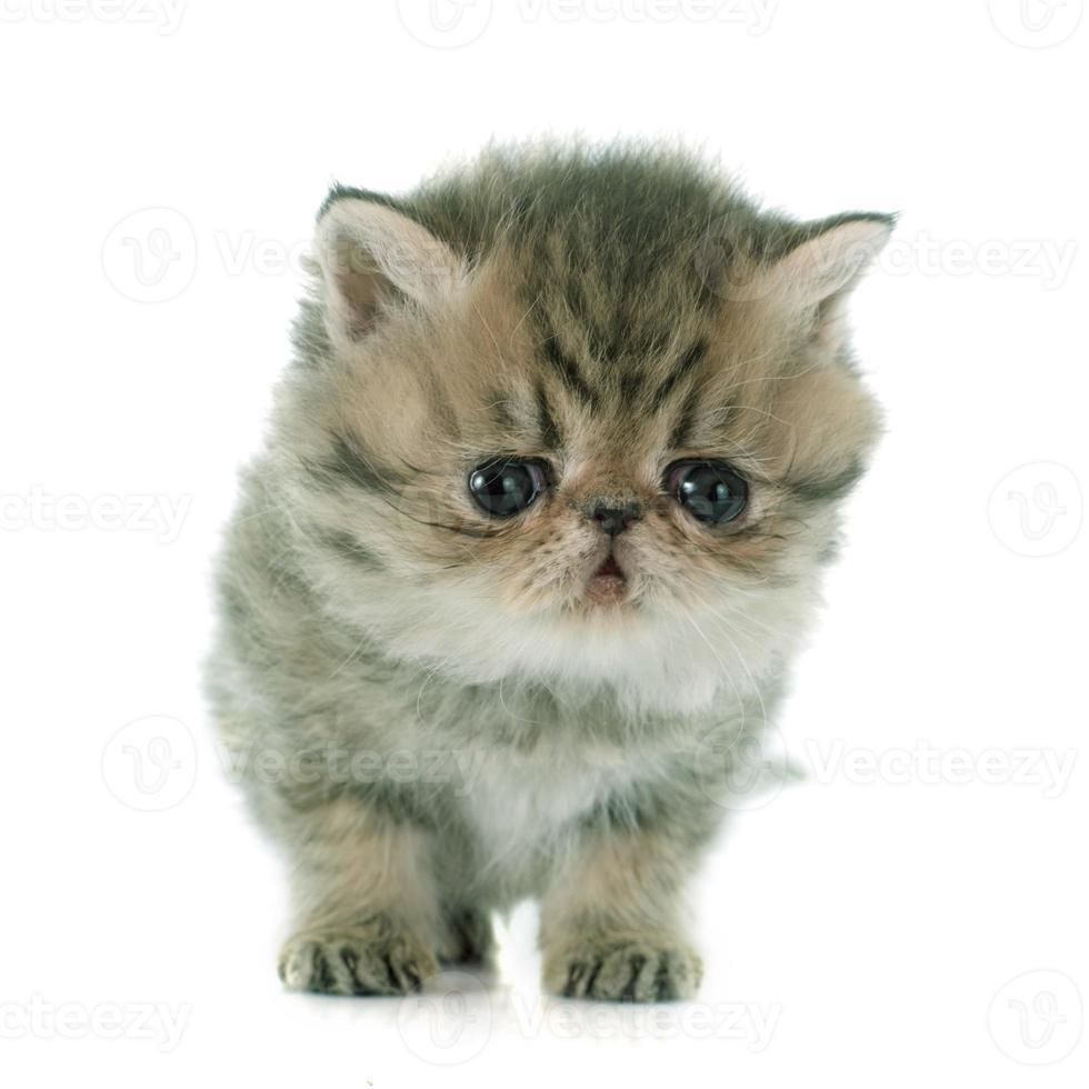 gatito exótico de pelo corto foto