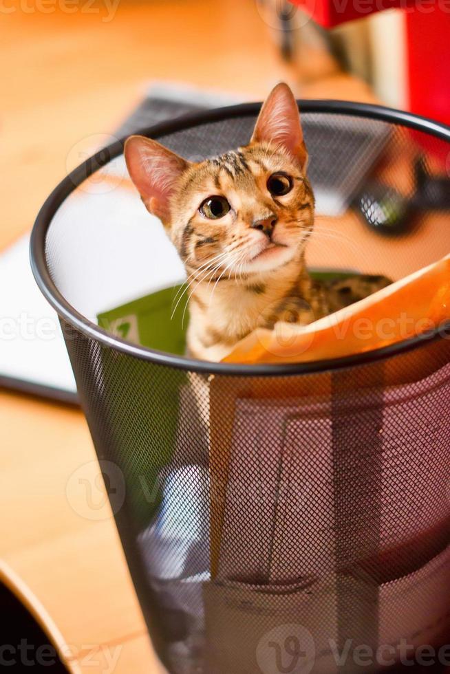 gato de bengala navegando en la papelera de reciclaje foto