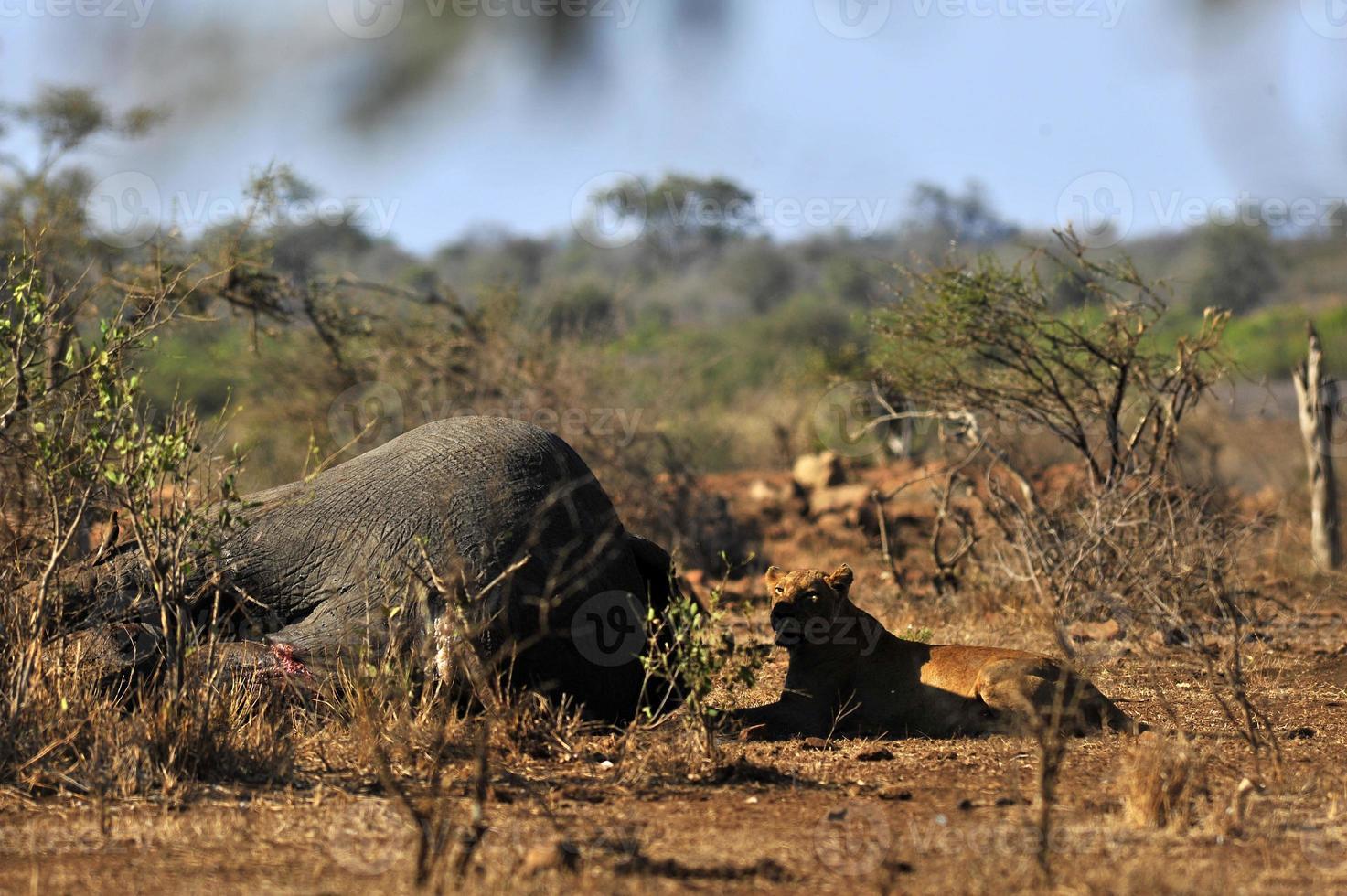 Leona en el Parque Nacional Kruger, Sudáfrica foto