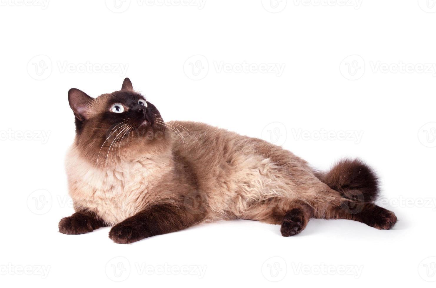 retrato de un gato siamés foto