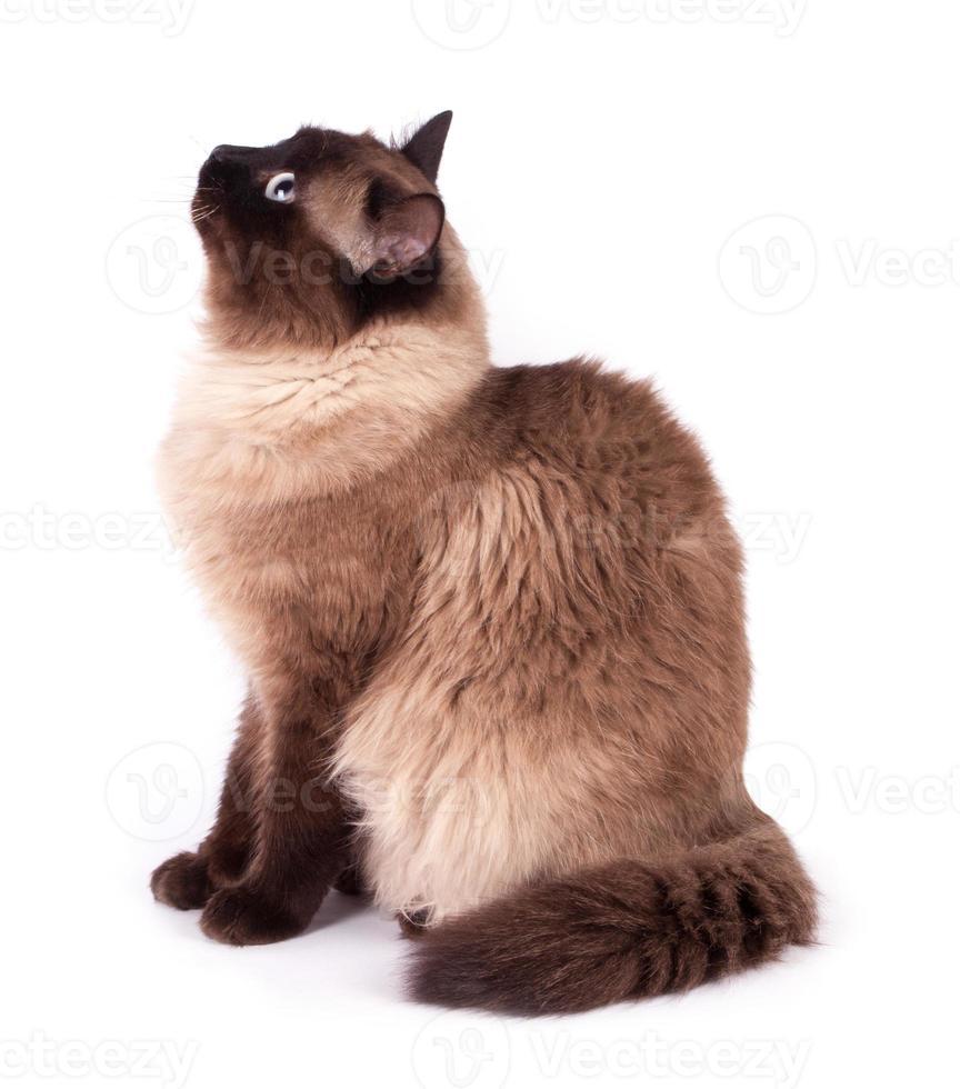 Portrait of a Siamese cat photo