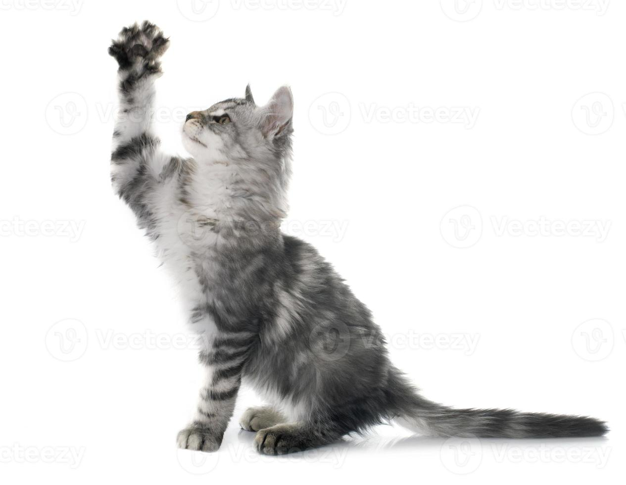 maine coon kitten photo