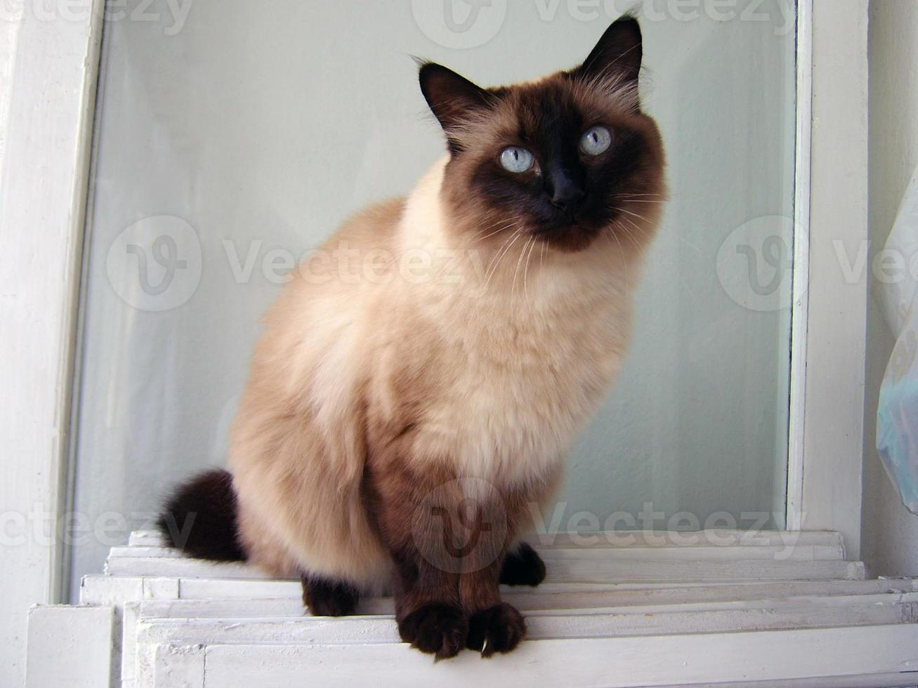 Handsome siamese cat photo