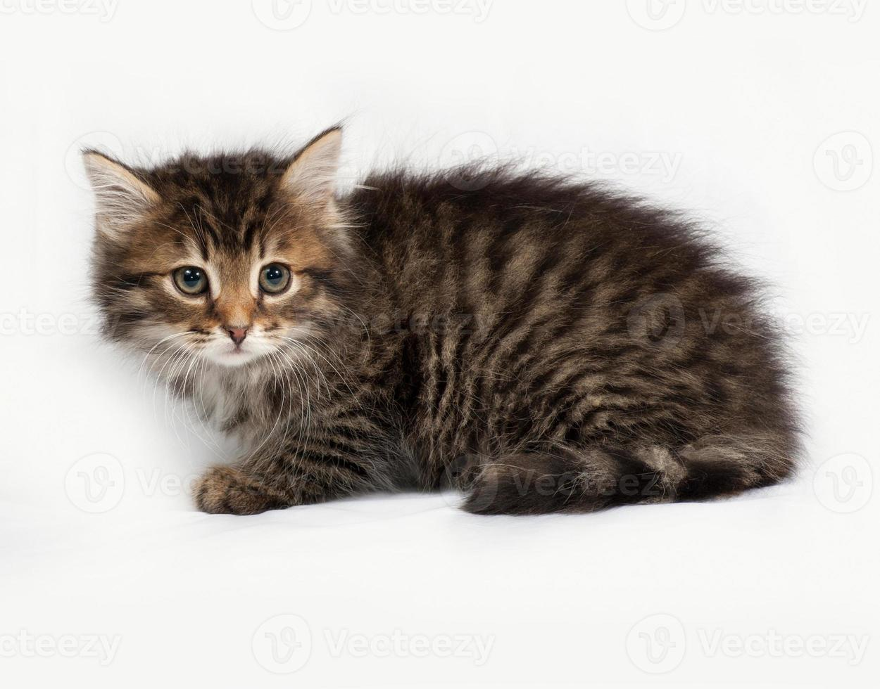 Fluffy Siberian striped kitten sitting on gray photo