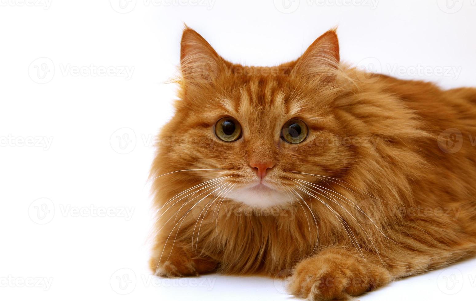 gato rojo disparó sobre un fondo blanco foto