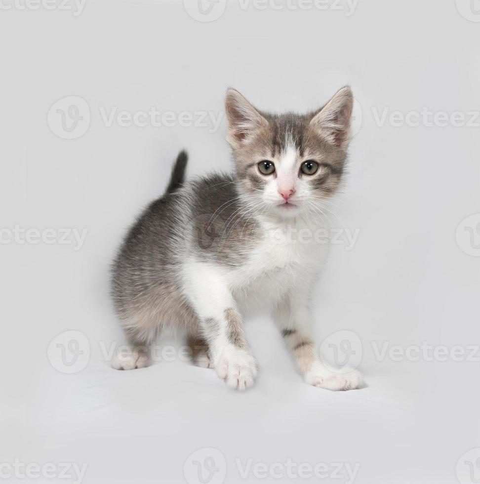 pequeño gatito blanco y atigrado de pie en gris foto