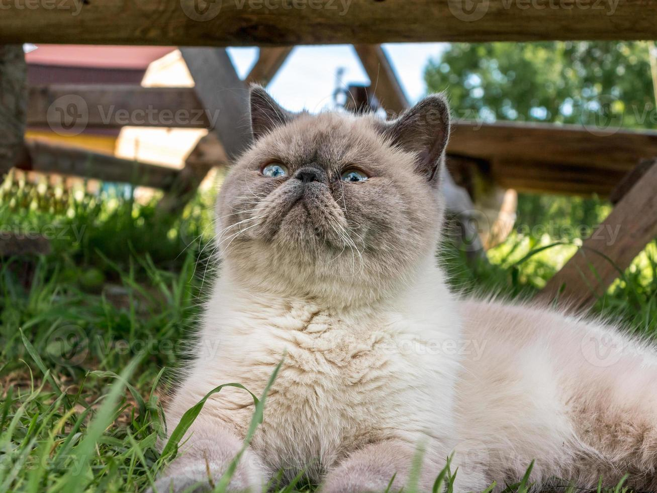 Gato exótico de pelo corto en la naturaleza. foto
