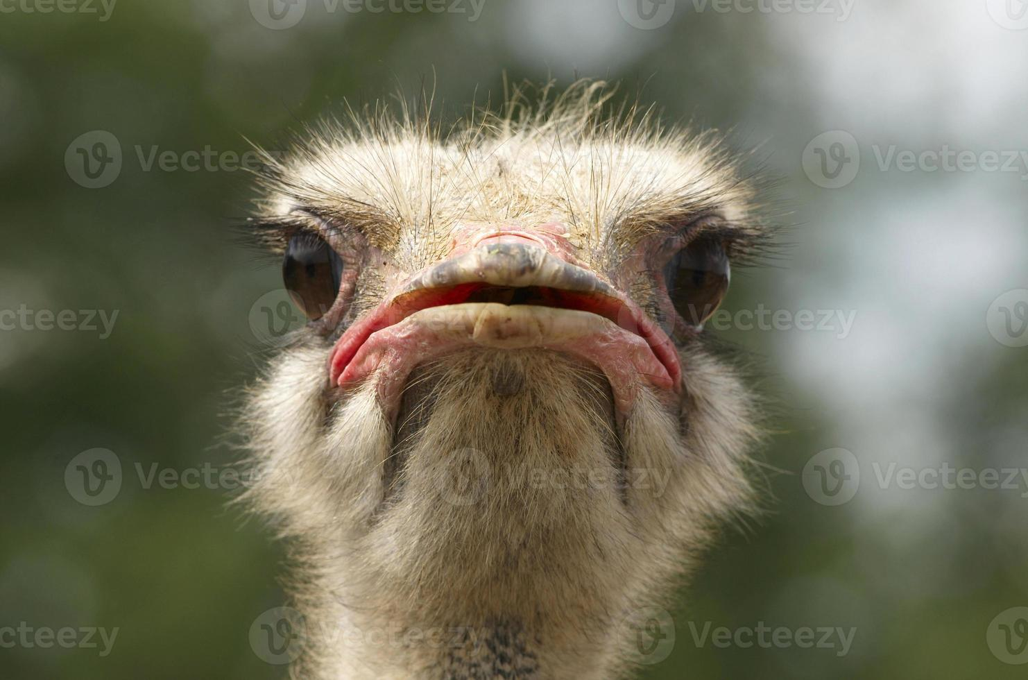 Head of Afrcian Ostrich photo