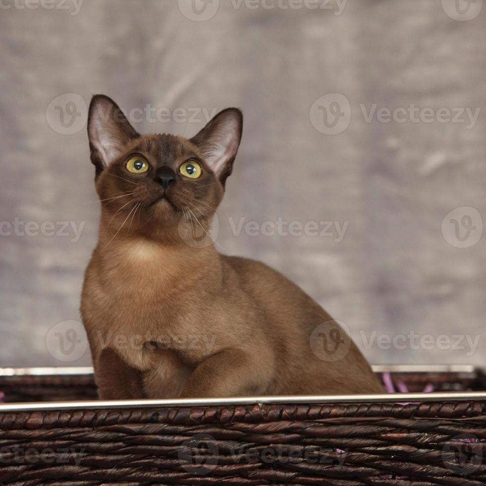 Beautiful Burmese cat in front of silver blanket photo