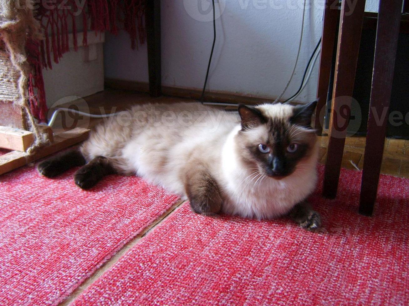 Male Siamese cat sitting on a carpet photo