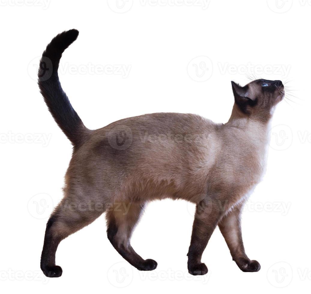 gato siamés mirando curiosamente hacia arriba foto
