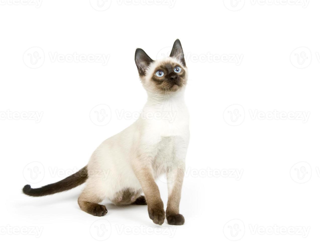 Siamese kitten sitting on a white background photo