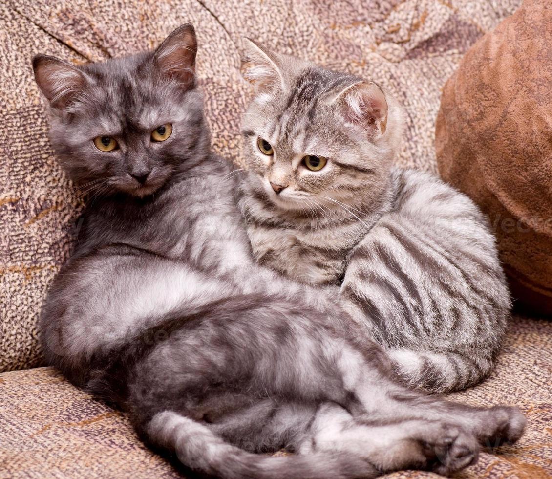 Beautiful Scottish young cats photo