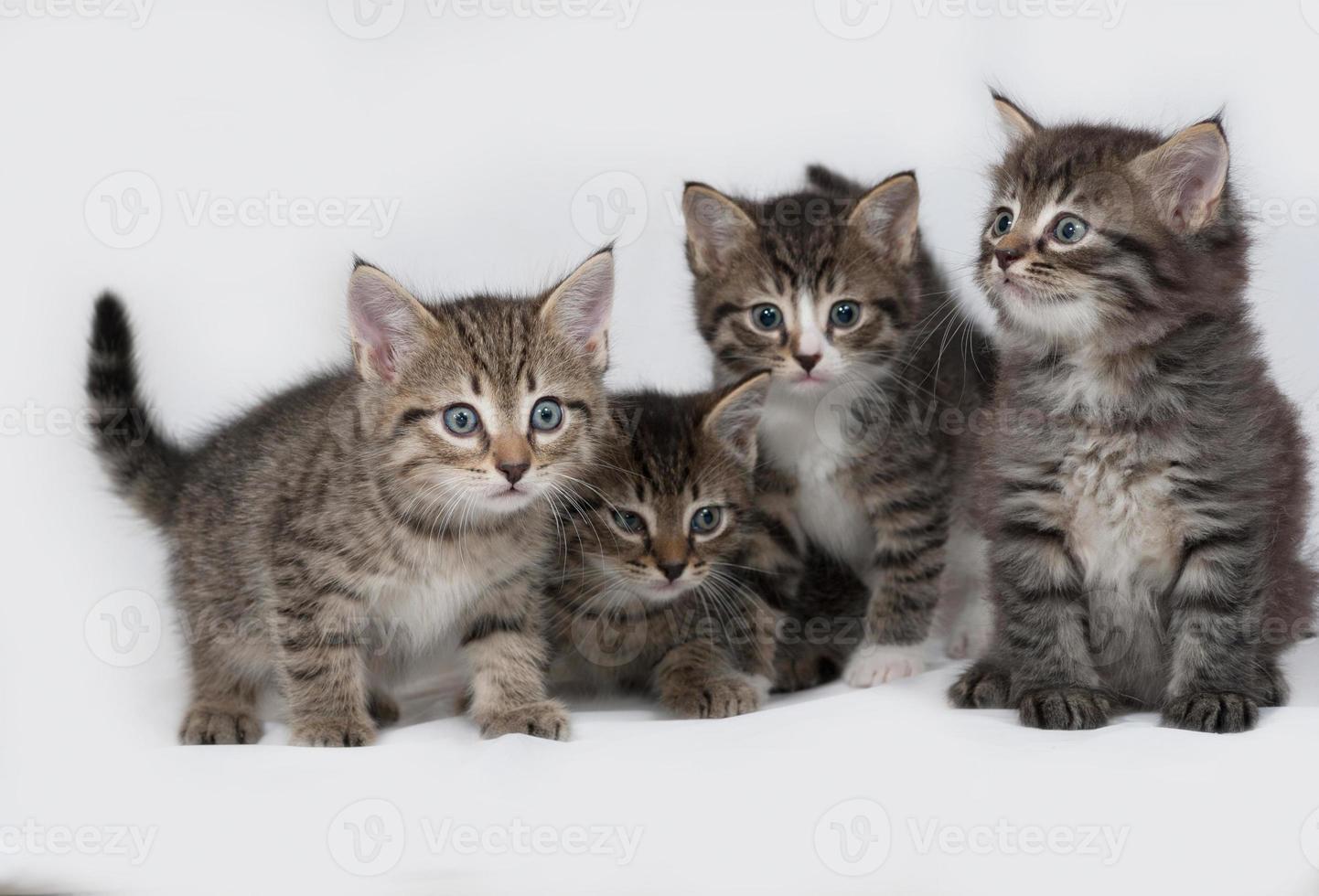 Four striped and white kitten sitting on gray photo