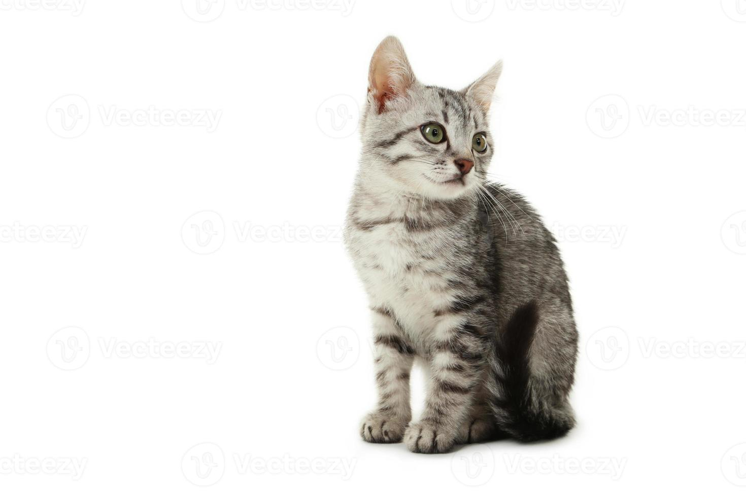Beautiful cat isolated on white photo