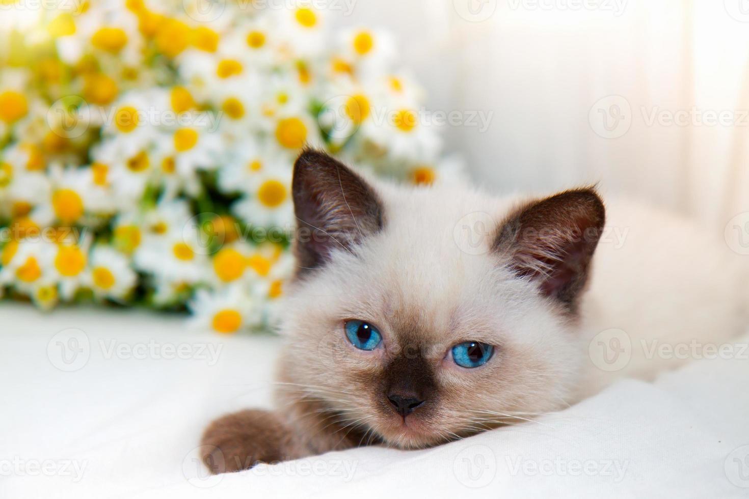Little cat lying near chamomile photo
