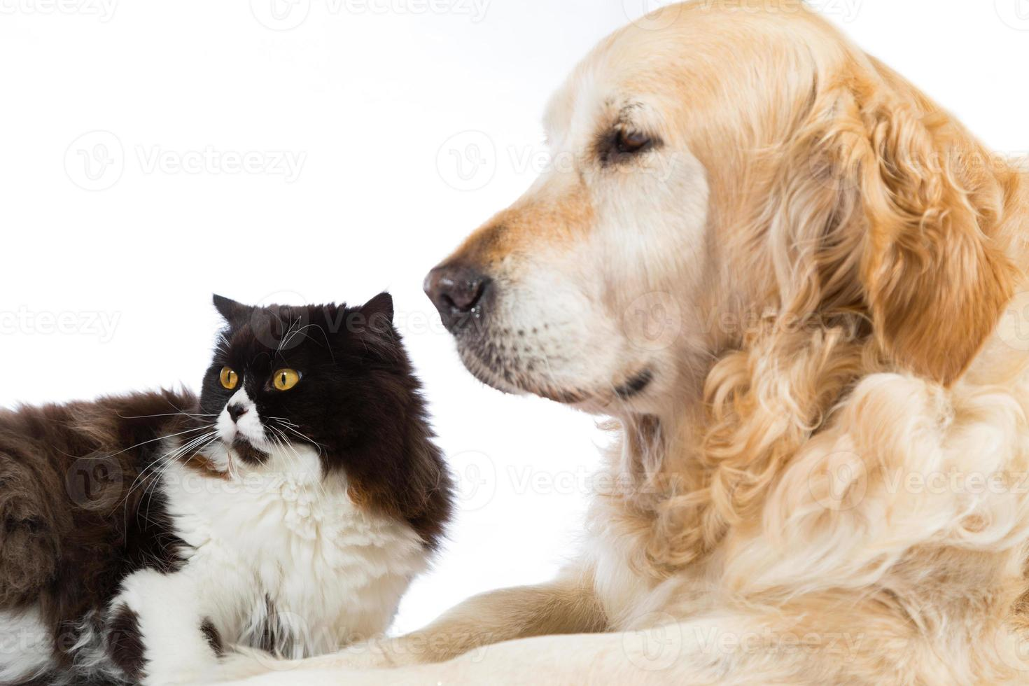 Persian Cat With Golden Retriever Dog photo