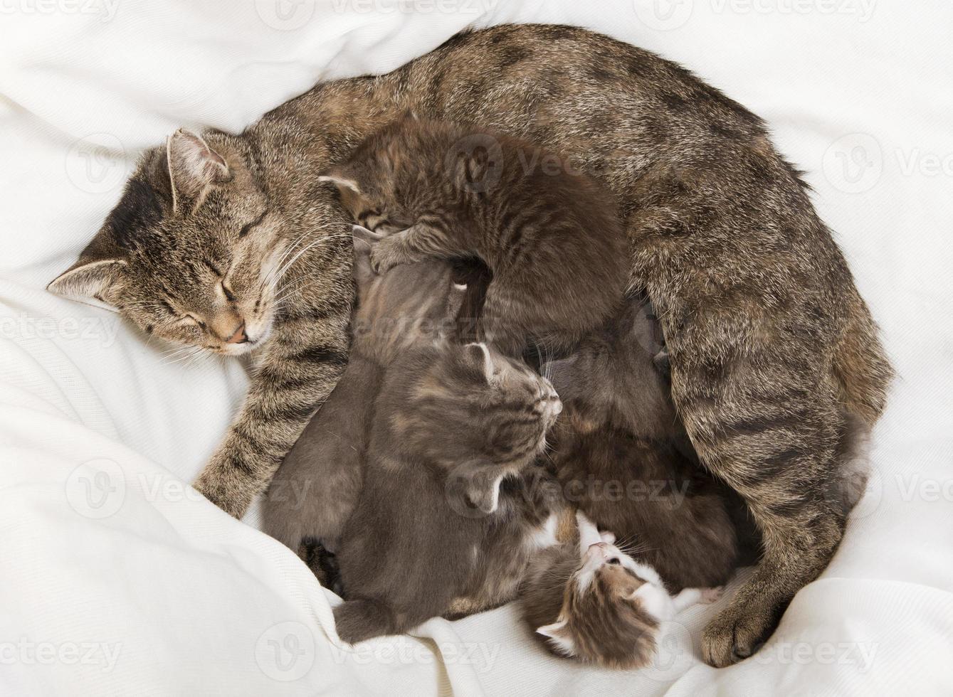 gatos bebés beben a su madre foto