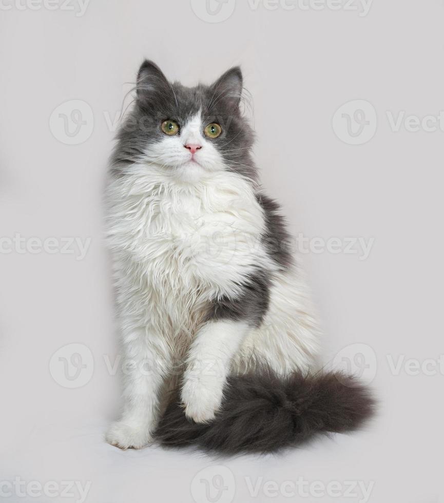 esponjoso gatito gris y blanco sentado en gris foto