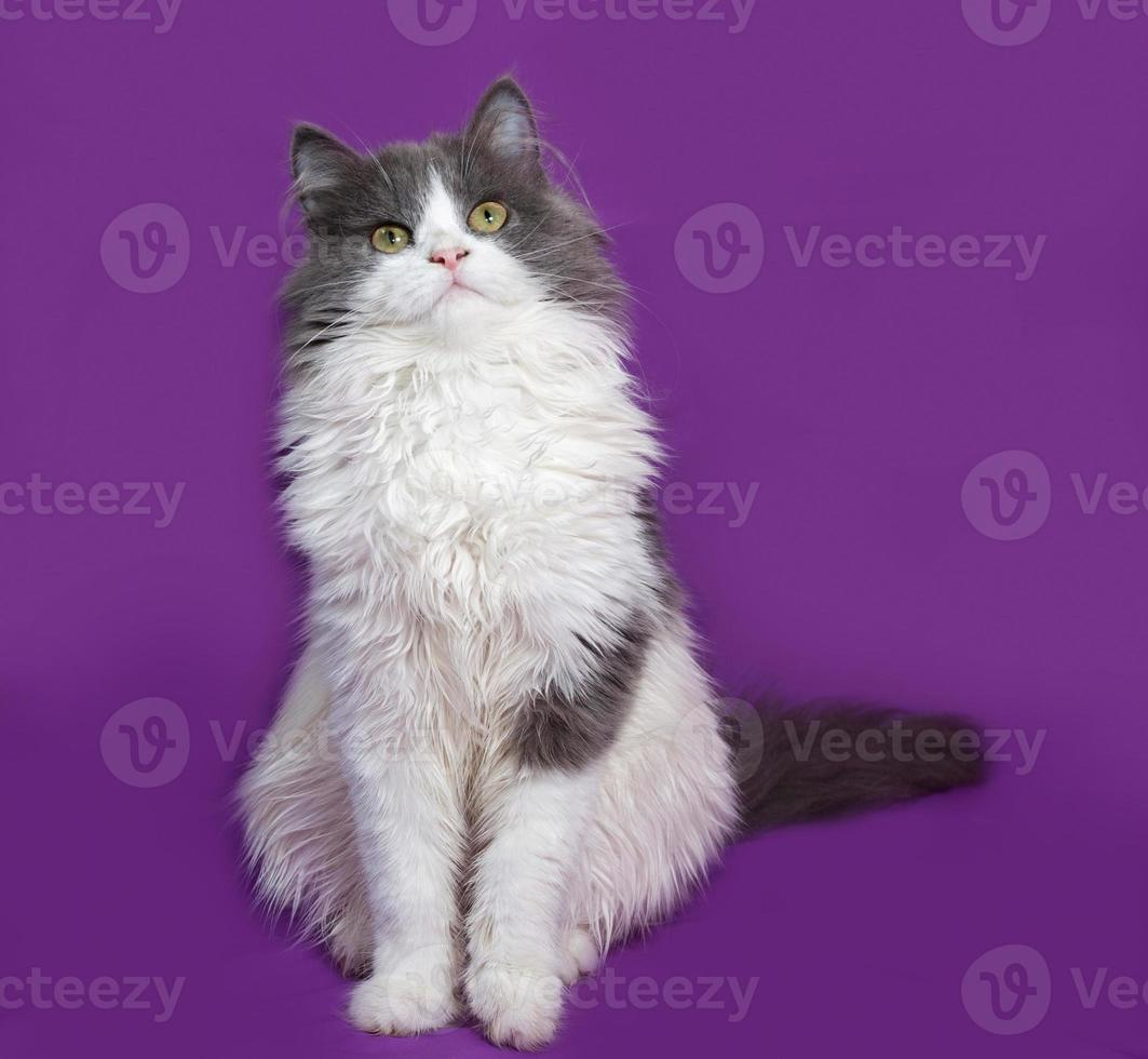 Fluffy gray and white kitten sitting on lilac photo