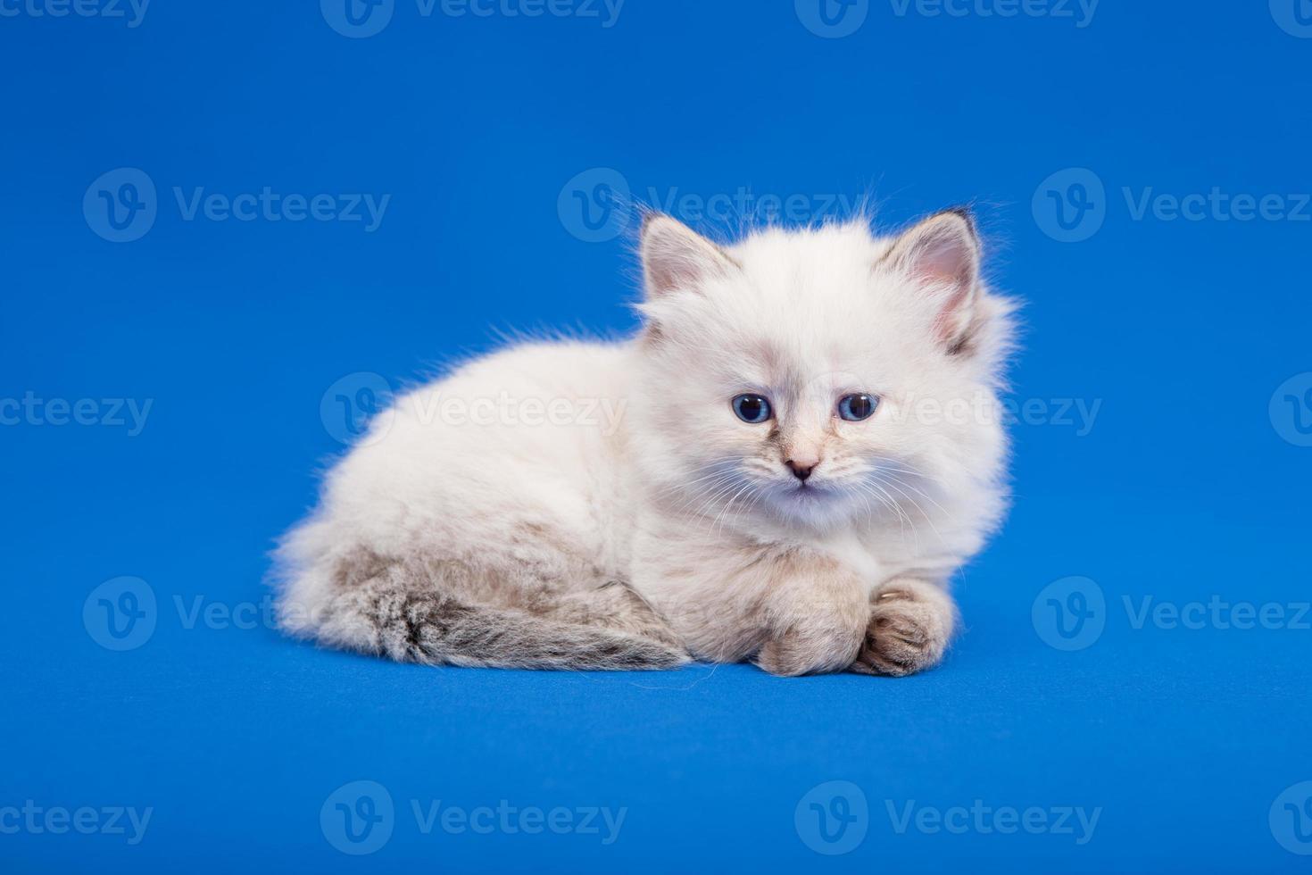 Siberian forest kitten photo
