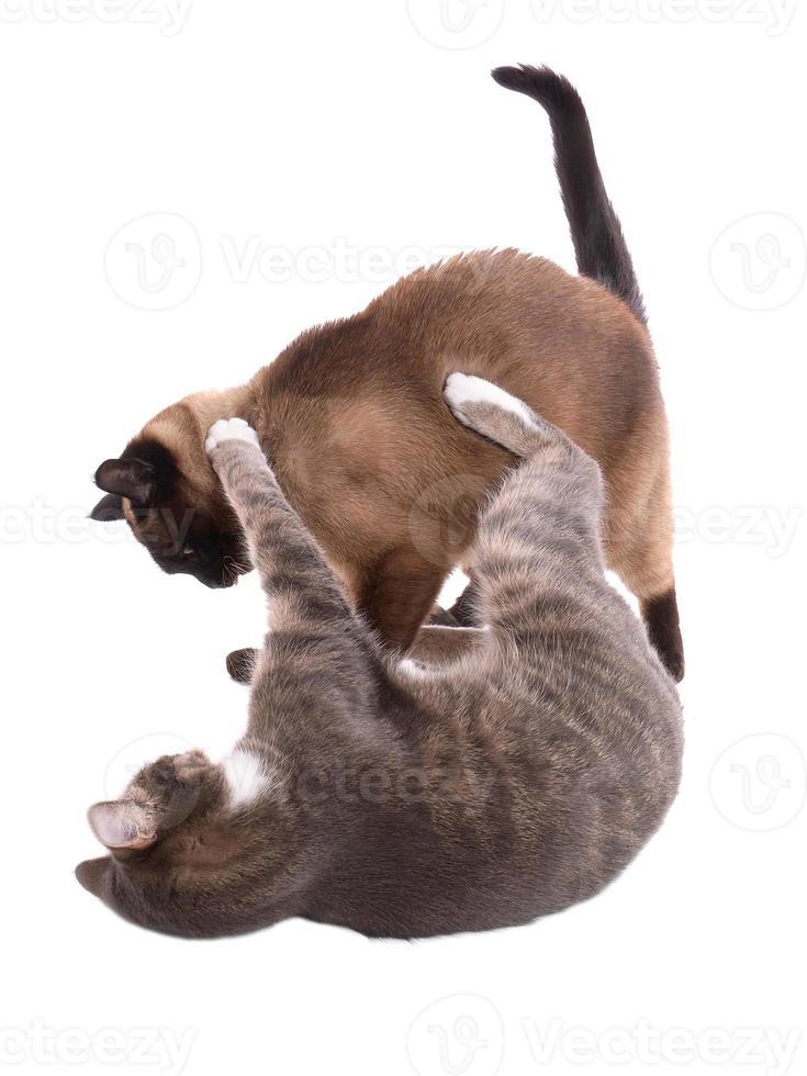 gatos peleando foto