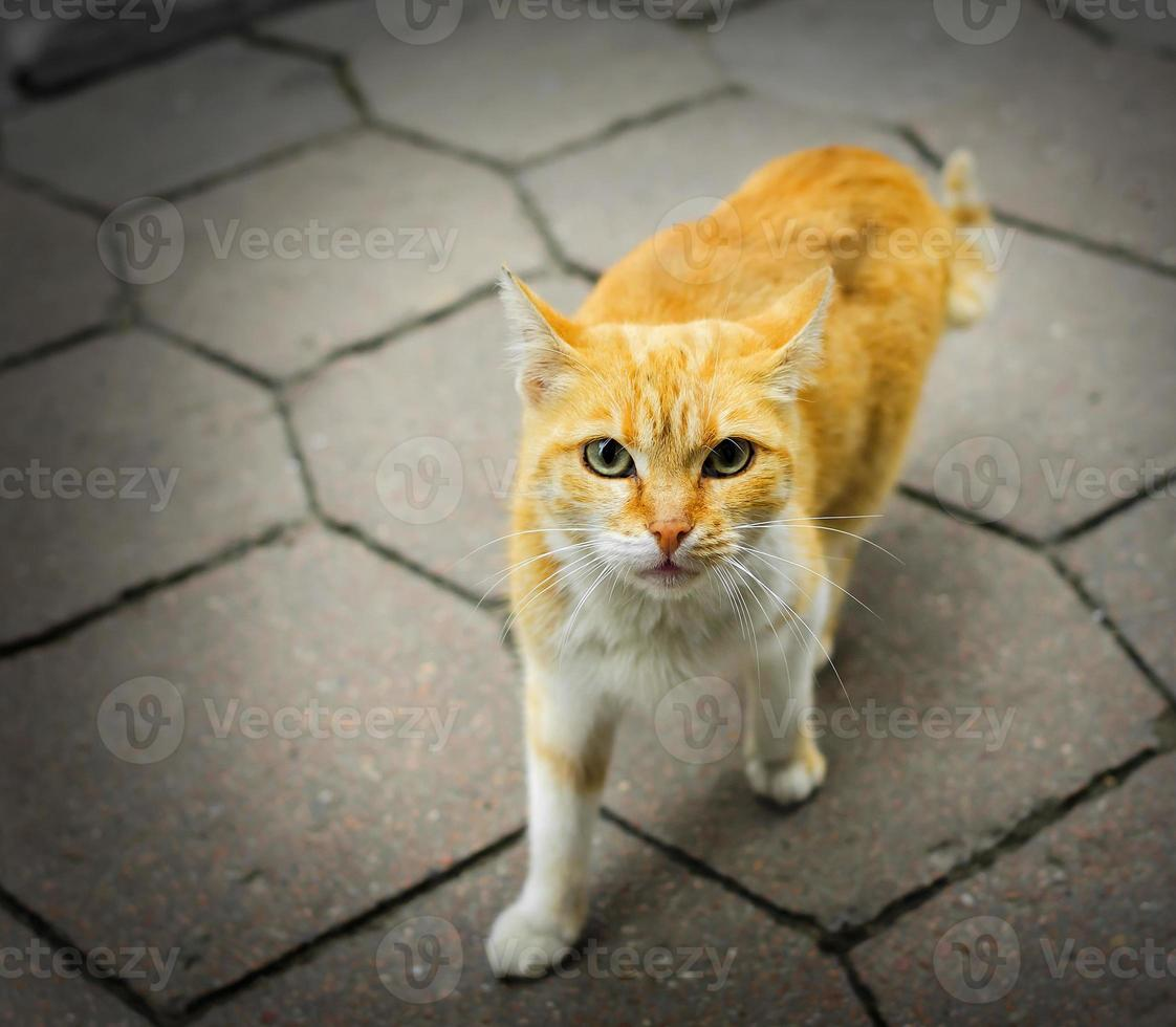 gato rufo sin hogar foto